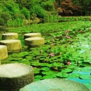 beautiful green Japanese water lilies